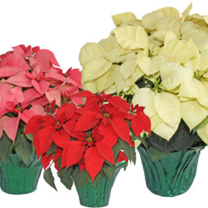 A Best Greenhouse Grown Poinsettia